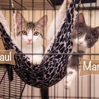 Adopt A Pet :: Paul - Palm Springs, CA