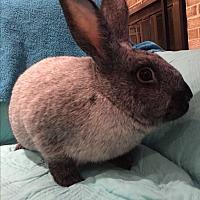 Adopt A Pet :: Tallulah - Alexandria, VA
