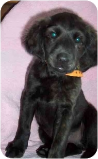 Spaniel (Unknown Type)/Border Collie Mix Puppy for adoption in McArthur, Ohio - LILLY