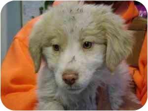 Spaniel (Unknown Type)/Siberian Husky Mix Puppy for adoption in Elwood, Illinois - Simon
