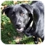 Photo 1 - Labrador Retriever Mix Puppy for adoption in Phoenix, Oregon - Blaze
