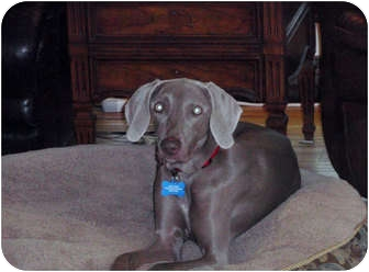 Weimaraner Dog for adoption in Grand Haven, Michigan - Holly