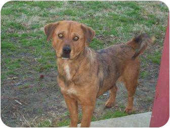 Terrier (Unknown Type, Medium)/Labrador Retriever Mix Dog for adoption in Louisburg, North Carolina - Brownie