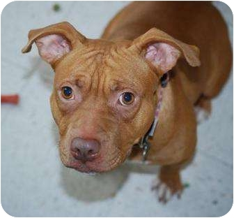 American Staffordshire Terrier Mix Dog for adoption in Vineland, New Jersey - Sasha (video)