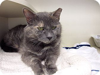 Domestic Shorthair Cat for adoption in Chicago, Illinois - Lira