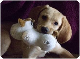 Labrador Retriever/Hound (Unknown Type) Mix Puppy for adoption in Jacksonville, Florida - Alex