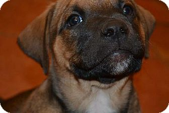 American Staffordshire Terrier Mix Puppy for adoption in Clovis, New Mexico - Titan