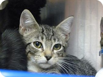 Domestic Shorthair Cat for adoption in Gainesville, Florida - Nonnie