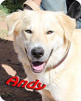 Labrador Retriever/Golden Retriever Mix Dog for adoption in Midland, Texas - Andy