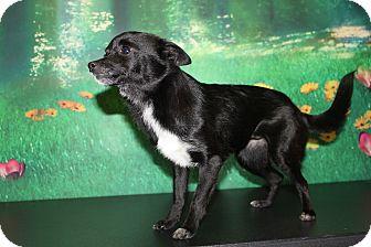 Chihuahua Mix Dog for adoption in HARRISONVILLE, Missouri - Jada