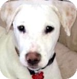 Labrador Retriever Mix Dog for adoption in Wakefield, Rhode Island - ROWDY(TRAINED-SO SMART!!