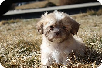 Lhasa Apso Mix Puppy for adoption in Broomfield, Colorado - LATARA