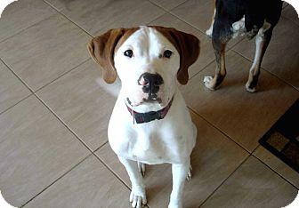 American Bulldog Mix Dog for adoption in Salem, New Hampshire - DUKE