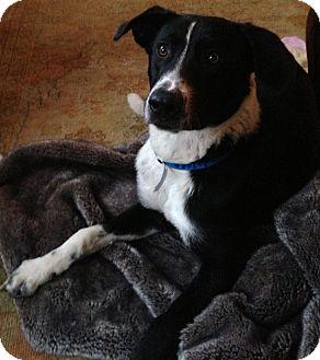 Border Collie/Golden Retriever Mix Dog for adoption in CHICAGO, Illinois - JAKE