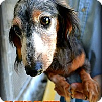 Dachshund Dog for adoption in Pearland, Texas - Pepper