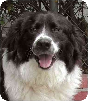 Border Collie Mix Dog for adoption in Rolling Hills Estates, California - Dillion