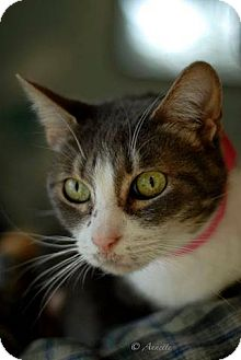 Domestic Shorthair Cat for adoption in North Haven, Connecticut - Miss Kitty