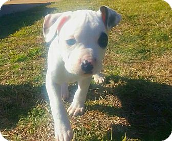 Pit Bull Terrier Mix Puppy for adoption in Wichita Falls, Texas - Addie