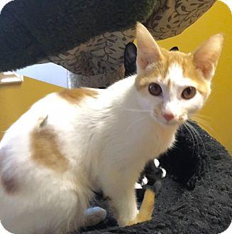 Domestic Shorthair Kitten for adoption in Irvine, California - PIKACHU