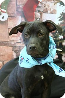 Labrador Retriever Mix Puppy for adoption in Brookeville, Maryland - Stretch