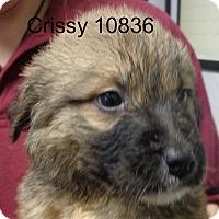 Adopt A Pet :: Crissy - Greencastle, NC