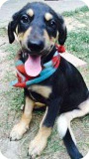 Hound (Unknown Type)/Labrador Retriever Mix Puppy for adoption in Harrisburg, Pennsylvania - Garfield