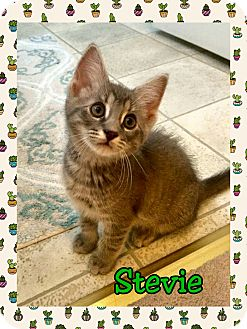 Domestic Shorthair Kitten for adoption in Atco, New Jersey - Stevie