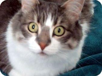 Maine Coon Cat for adoption in Davis, California - Alecia