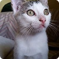 Adopt A Pet :: Puddin Pop - Edmond, OK