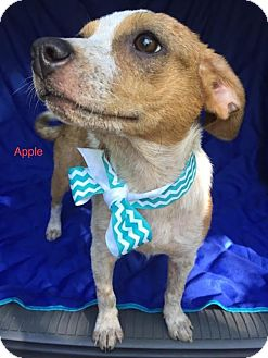Cattle Dog Mix Puppy for adoption in East Hartford, Connecticut - Apple-pending adoption