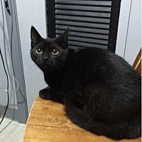 Domestic Shorthair Cat for adoption in Lorain, Ohio - Ali