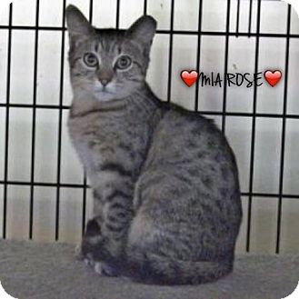 American Shorthair Kitten for adoption in Great Neck, New York - Mia Rose