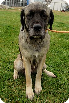 Mastiff Mix Dog for adoption in Grinnell, Iowa - Stella