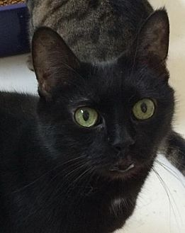 Domestic Shorthair Cat for adoption in Montreal, Quebec - Miss Curly