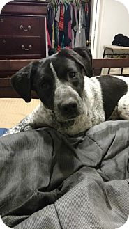 Pointer Mix Dog for adoption in Silver Spring, Maryland - Kenzie