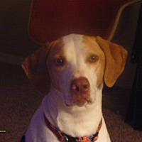 Pointer Mix Dog for adoption in Springdale, Arkansas - Tripp