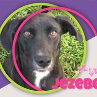 Adopt A Pet :: JEZEBEL - Chattanooga, TN