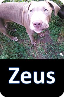 Pit Bull Terrier/Staffordshire Bull Terrier Mix Puppy for adoption in Flint, Michigan - Zeus