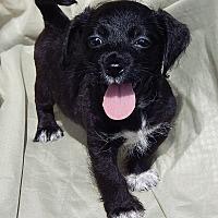 Adopt A Pet :: Jax (1.5 lb) Video - Burlington, VT