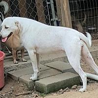 Labrador Retriever Mix Dog for adoption in Baileyton, Alabama - Tulip