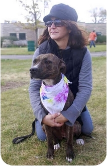 Bull Terrier/Boxer Mix Dog for adoption in Lombard, Illinois - Layla DNA tested