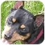Photo 4 - Miniature Pinscher Dog for adoption in Greensboro, North Carolina - Sammy-Girl