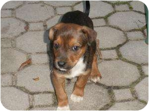 Shepherd (Unknown Type) Mix Puppy for adoption in Marlton, New Jersey - Tyco