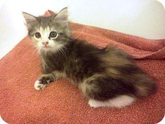 Domestic Shorthair Kitten for adoption in Las Vegas, Nevada - Kahlua