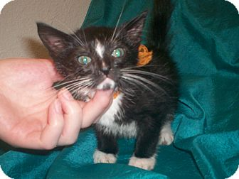 American Shorthair Kitten for adoption in Austin, Texas - Skunk