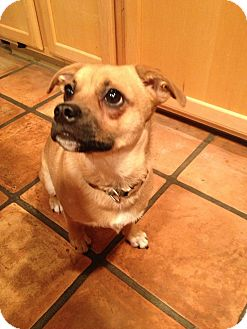Pug/Chihuahua Mix Dog for adoption in Phoenix, Arizona - Max