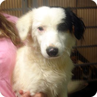 Border Collie/Sheltie, Shetland Sheepdog Mix Dog for adoption in Greencastle, North Carolina - Tempest