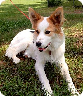 Border Collie Mix Dog for adoption in Manhasset, New York - Deliah