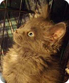 Domestic Longhair Kitten for adoption in Buhl, Idaho - Morgana
