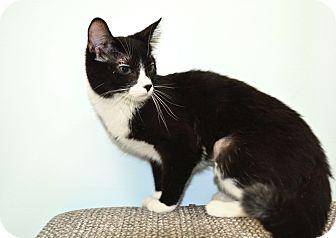 Domestic Shorthair Kitten for adoption in Brooklyn, New York - Josie